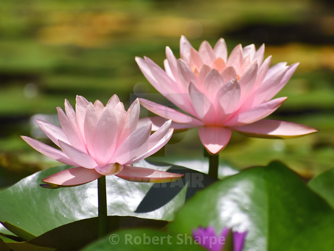 """""""Pair of Pink Lotus Blossoms"""" stock image"""