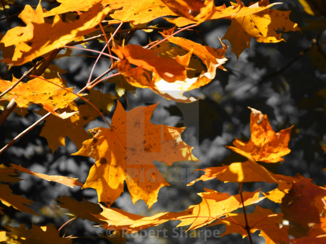 """Autumn Leaves Color Splash"" stock image"