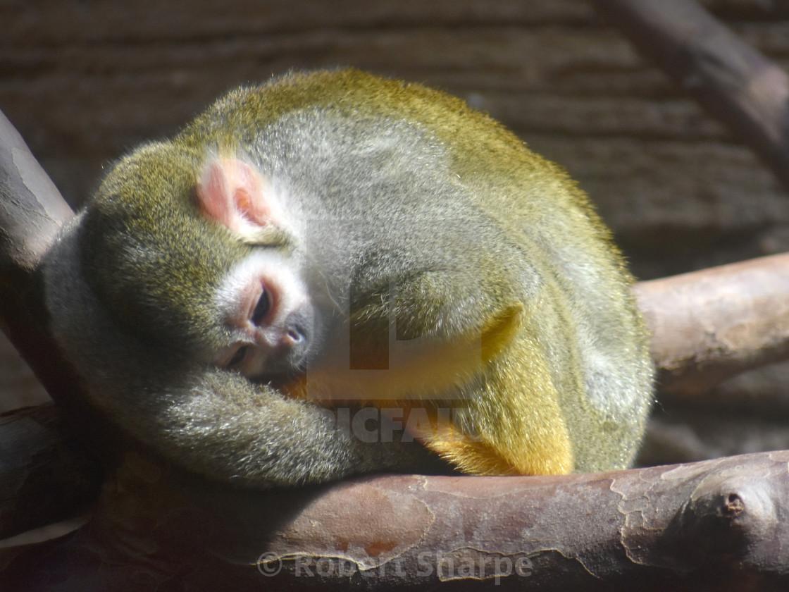 """""""Sleepy Monkey"""" stock image"""