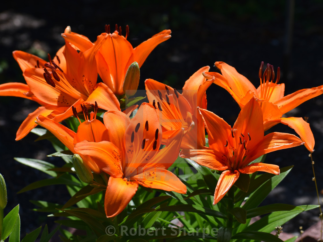 """""""Tiger Lilies"""" stock image"""