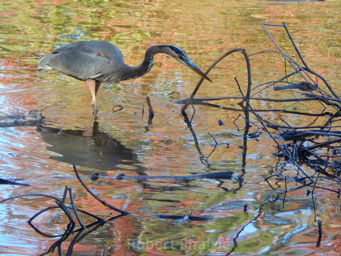"""PhotoArt Blue Heron in Swamp"" stock image"