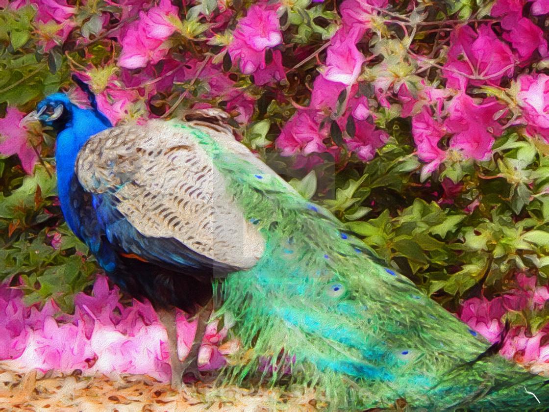 """""""PhotoArt Peacock among Azaleas"""" stock image"""
