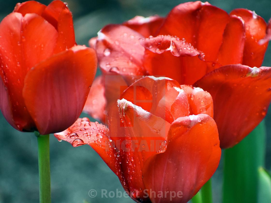 """Rain-kissed Red Tulips"" stock image"