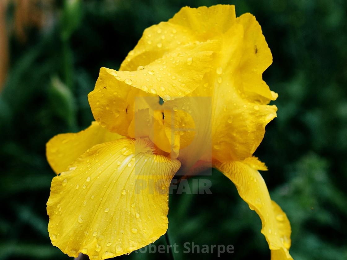 """""""Rain-kissed Yellow Iris"""" stock image"""