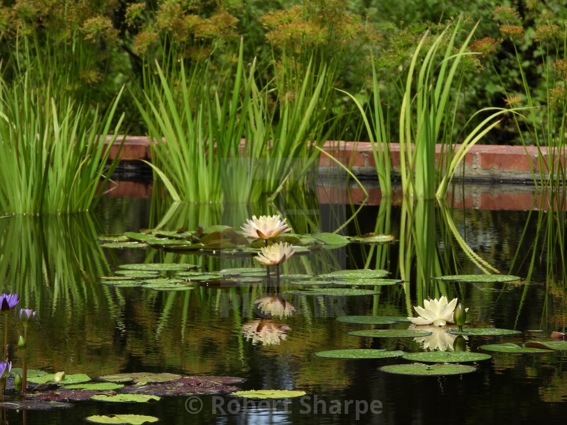 """""""Waterlily Pond with Grass"""" stock image"""