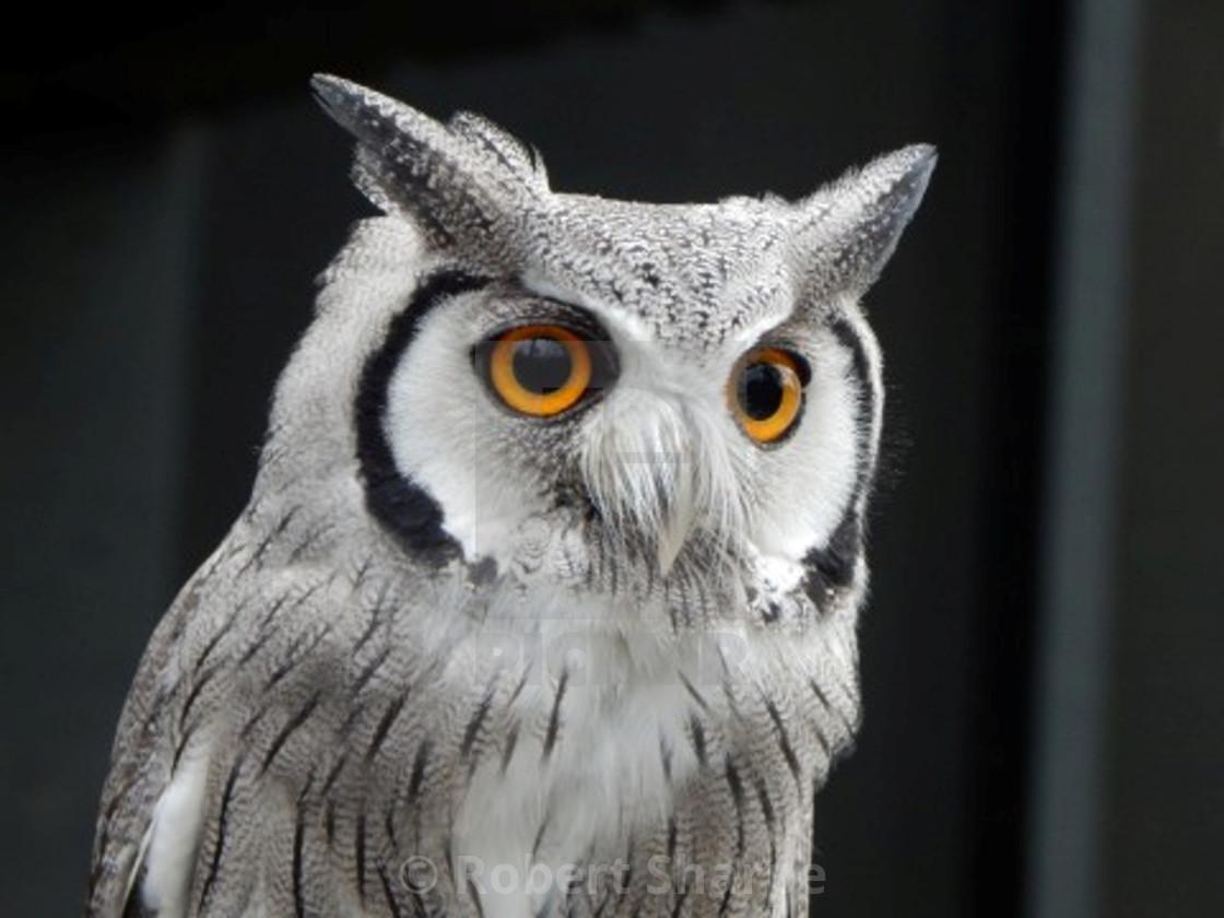 """""""Scopes Owl"""" stock image"""