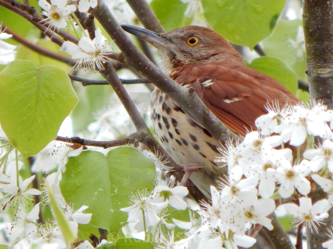 """""""A Brown Thrasher in Spring"""" stock image"""