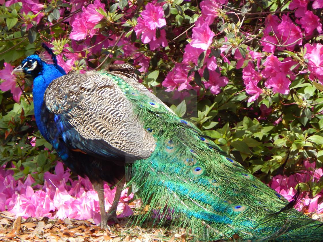 """""""Peacock Among Pink Azalea"""" stock image"""