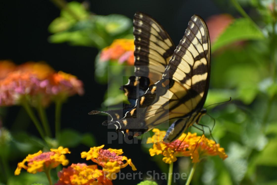 """Yellow Swallowtail on Lantana"" stock image"