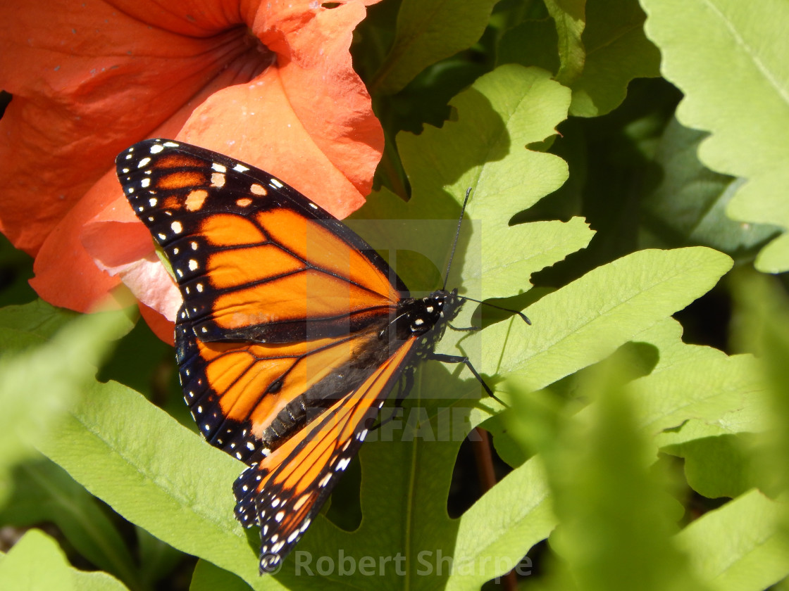 """""""Monarch Butterfly with Orange Trumpet Flower"""" stock image"""