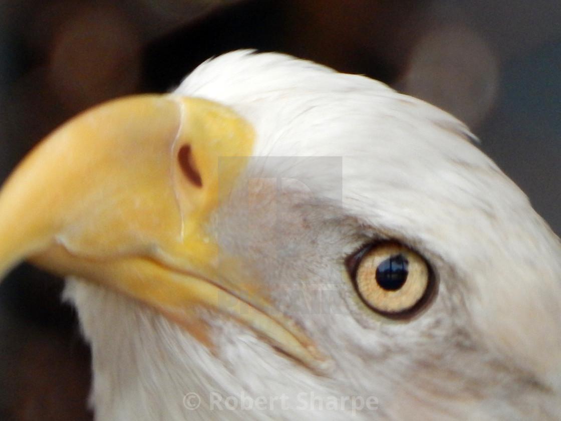 """Bald Eagle - extreme closeup"" stock image"