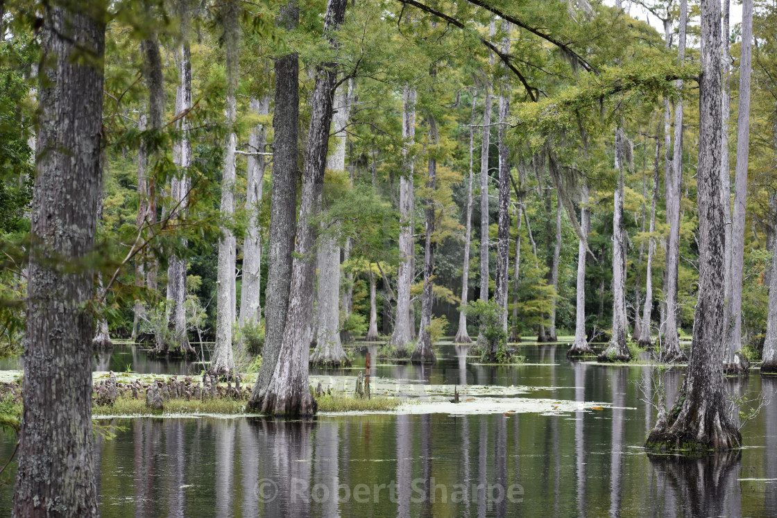"""Cypress Swamp"" stock image"