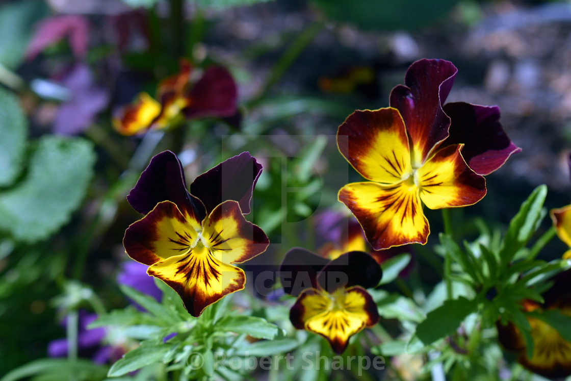"""""""Smiling Burgundy and Yellow Pansies"""" stock image"""