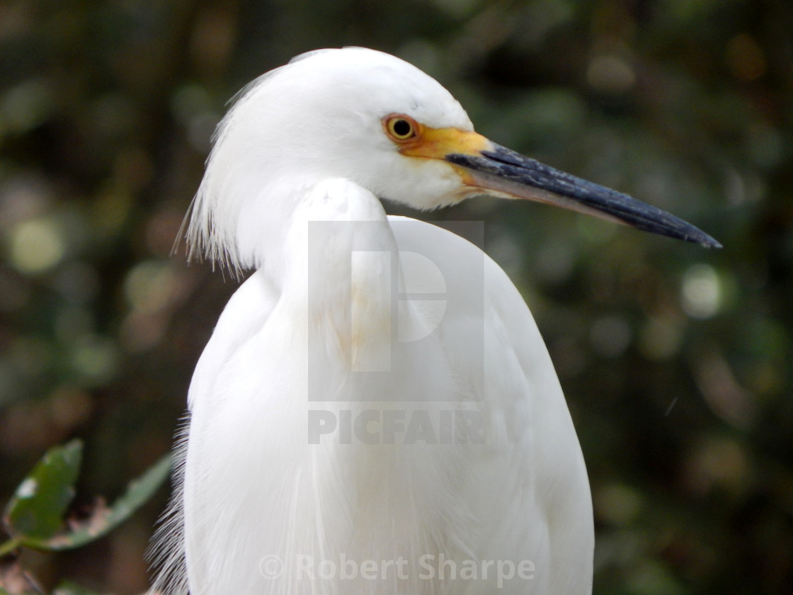 """White Egret Profile"" stock image"
