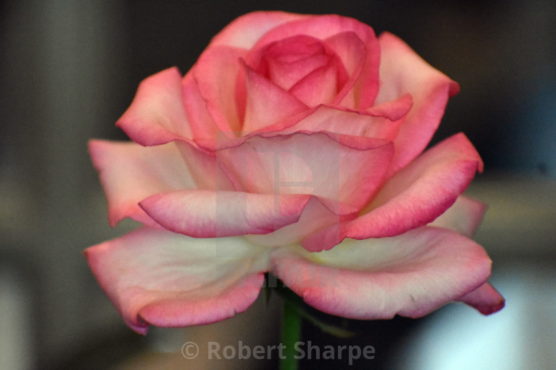 """""""Pink and White Rose"""" stock image"""