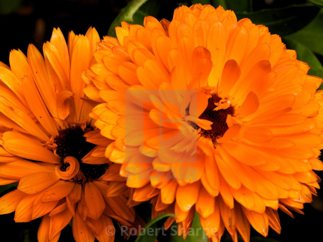 """""""Orange Calendula Flower"""" stock image"""