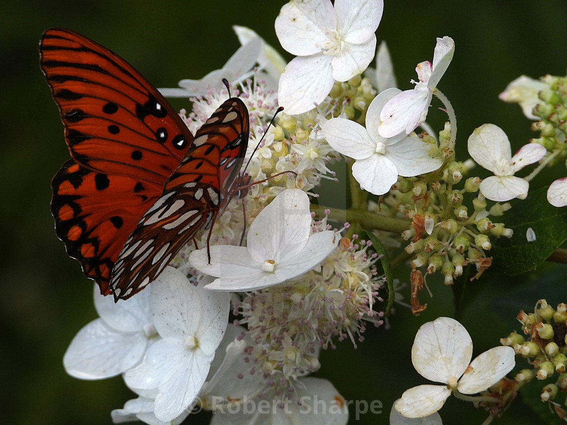 """""""Butterfly on White Hydrangea"""" stock image"""