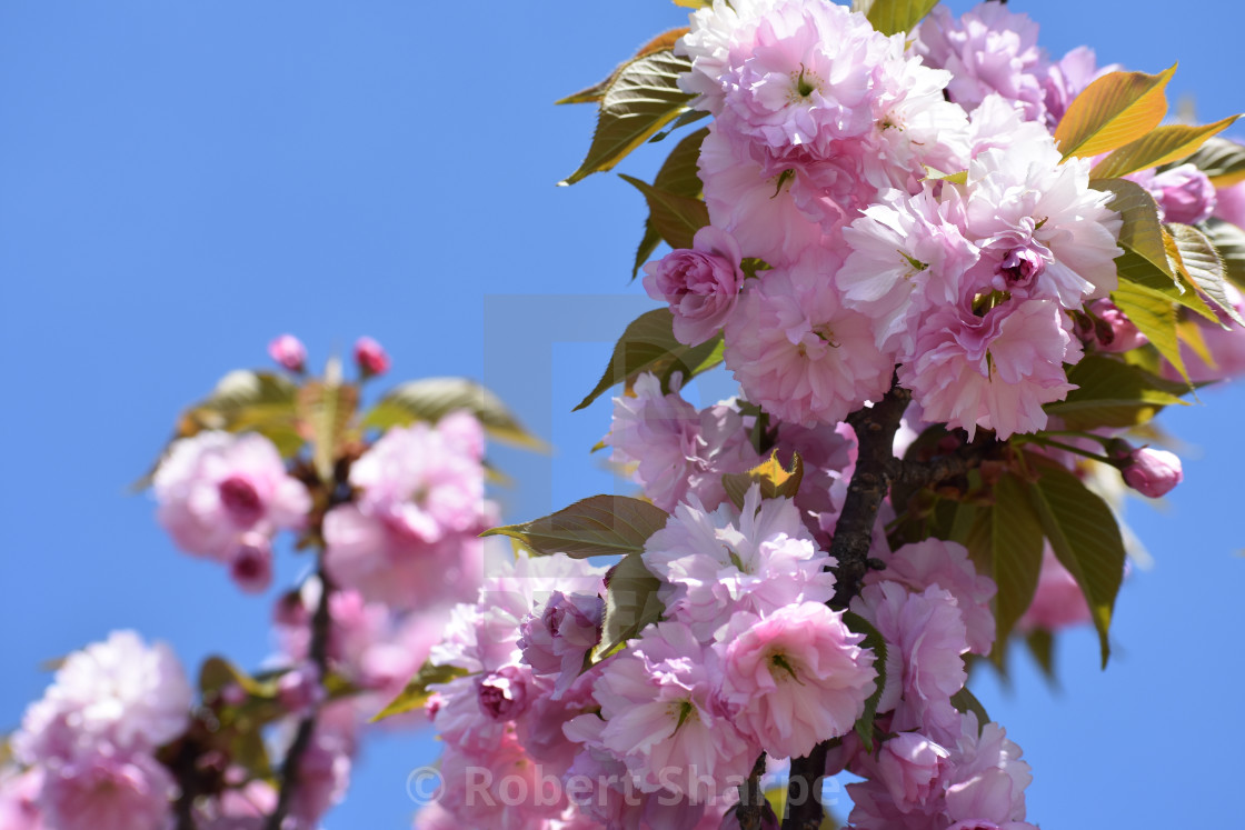"""""""Japanese Flowering Cherry Tree and Blue Sky"""" stock image"""