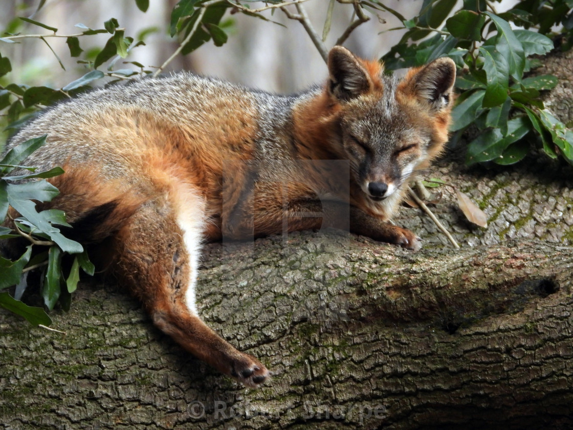 """""""Grey Fox in a Tree"""" stock image"""