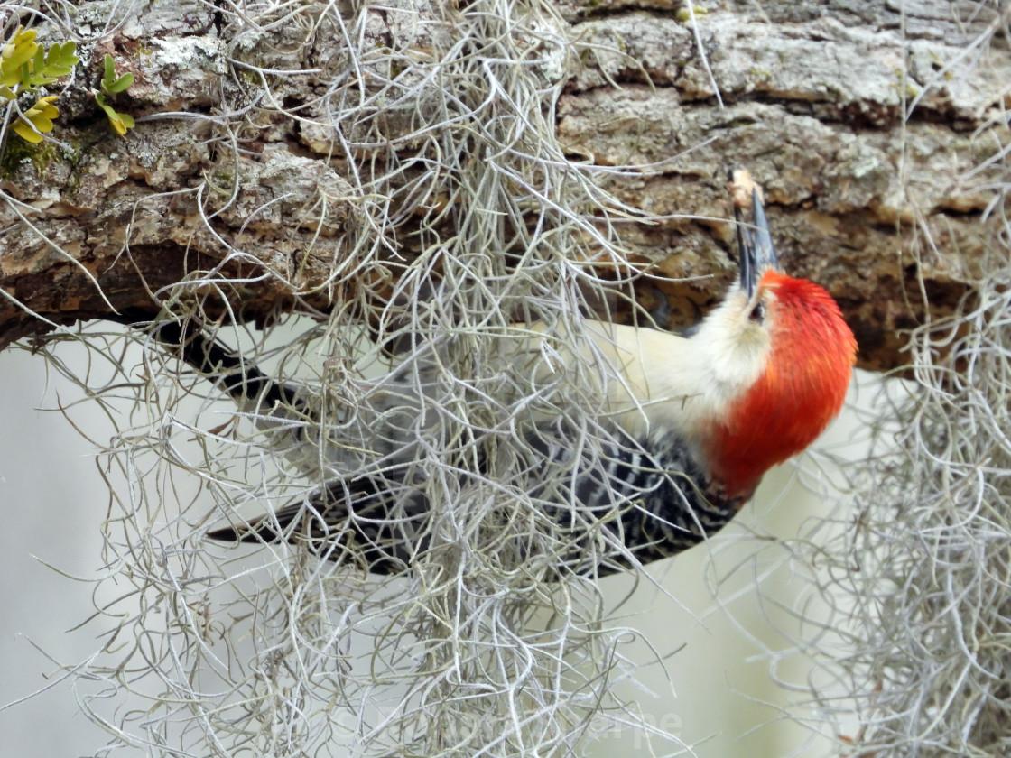 """Upside down Red-Bellied Woodpecker"" stock image"