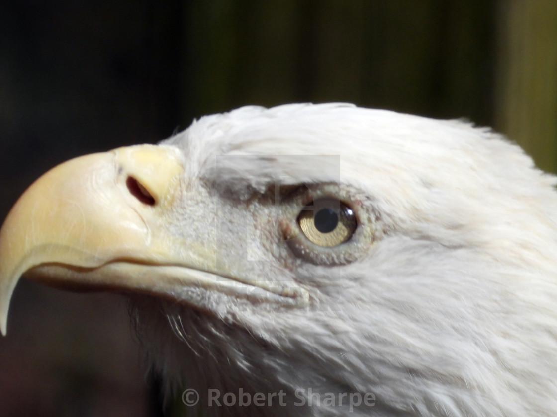 """""""Closeup Profile of Bald Eagle"""" stock image"""