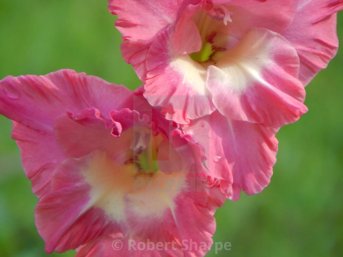 """Pink and White Gladiolus, closeup"" stock image"