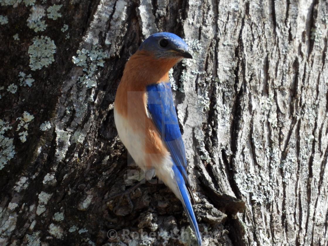 """Eastern Bluebird on Pine Tree"" stock image"
