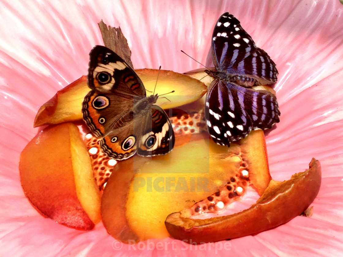 """""""Butterflies on Peaches"""" stock image"""