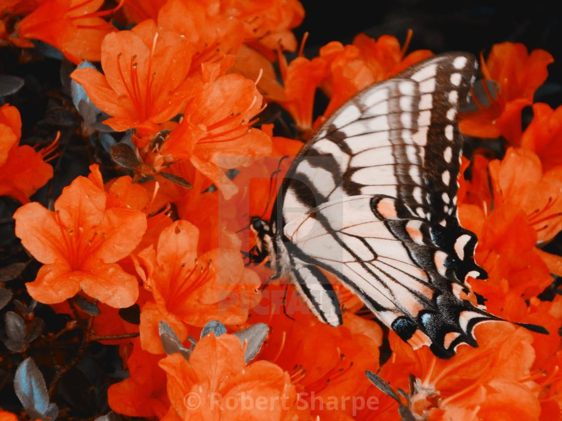 """""""Yellow Swallowtail on Orange Azaleas"""" stock image"""
