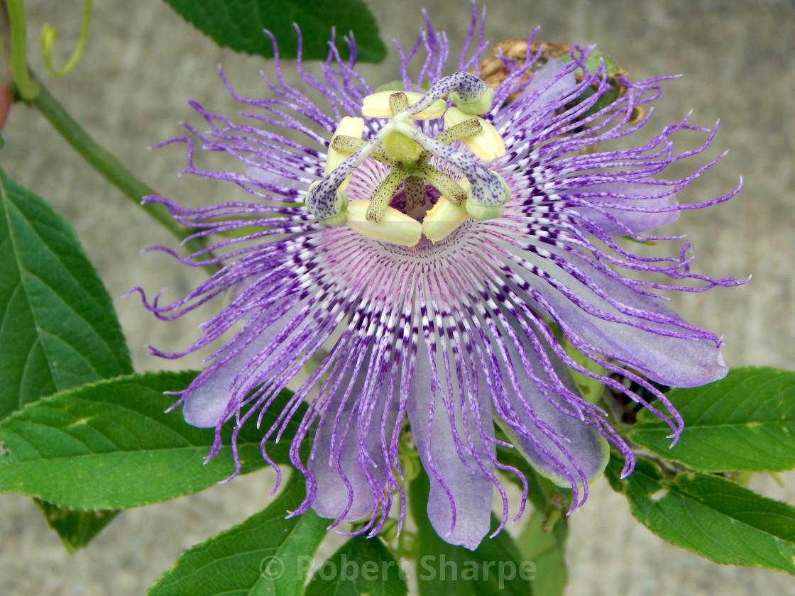 """Purple Passion Flower"" stock image"