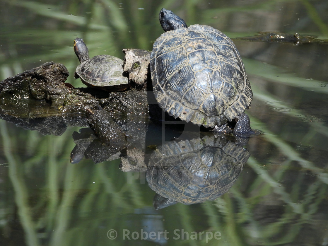 """""""Turtle Family Reflected"""" stock image"""