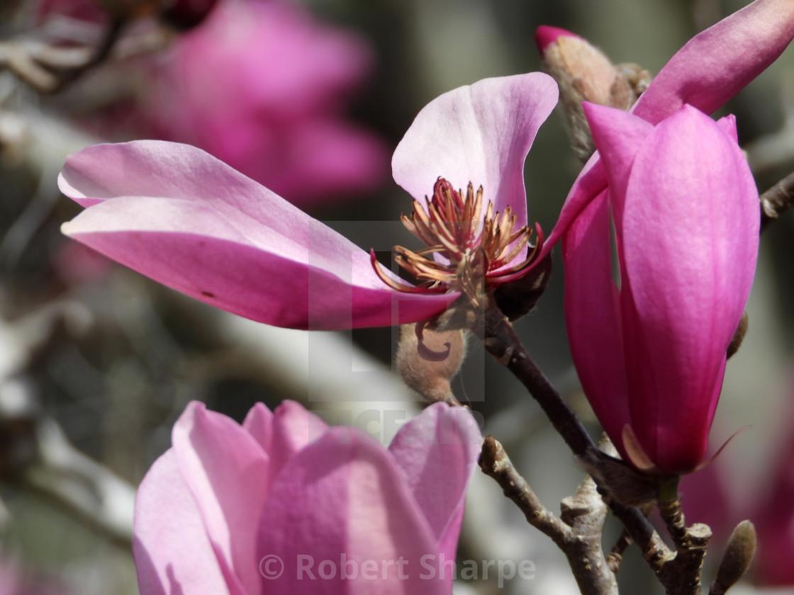 """Tulip Tree Blossom closeup"" stock image"