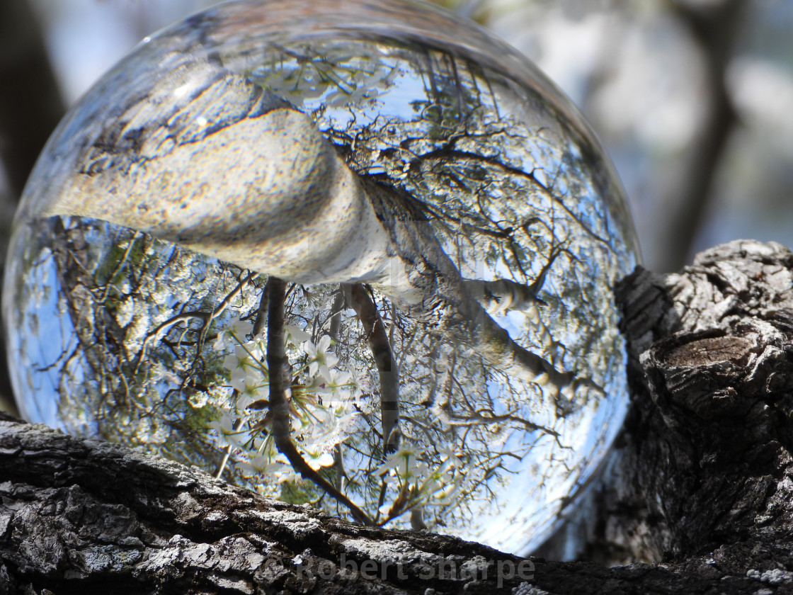 """""""Crystal Ball in a Flowering Pear Tree"""" stock image"""