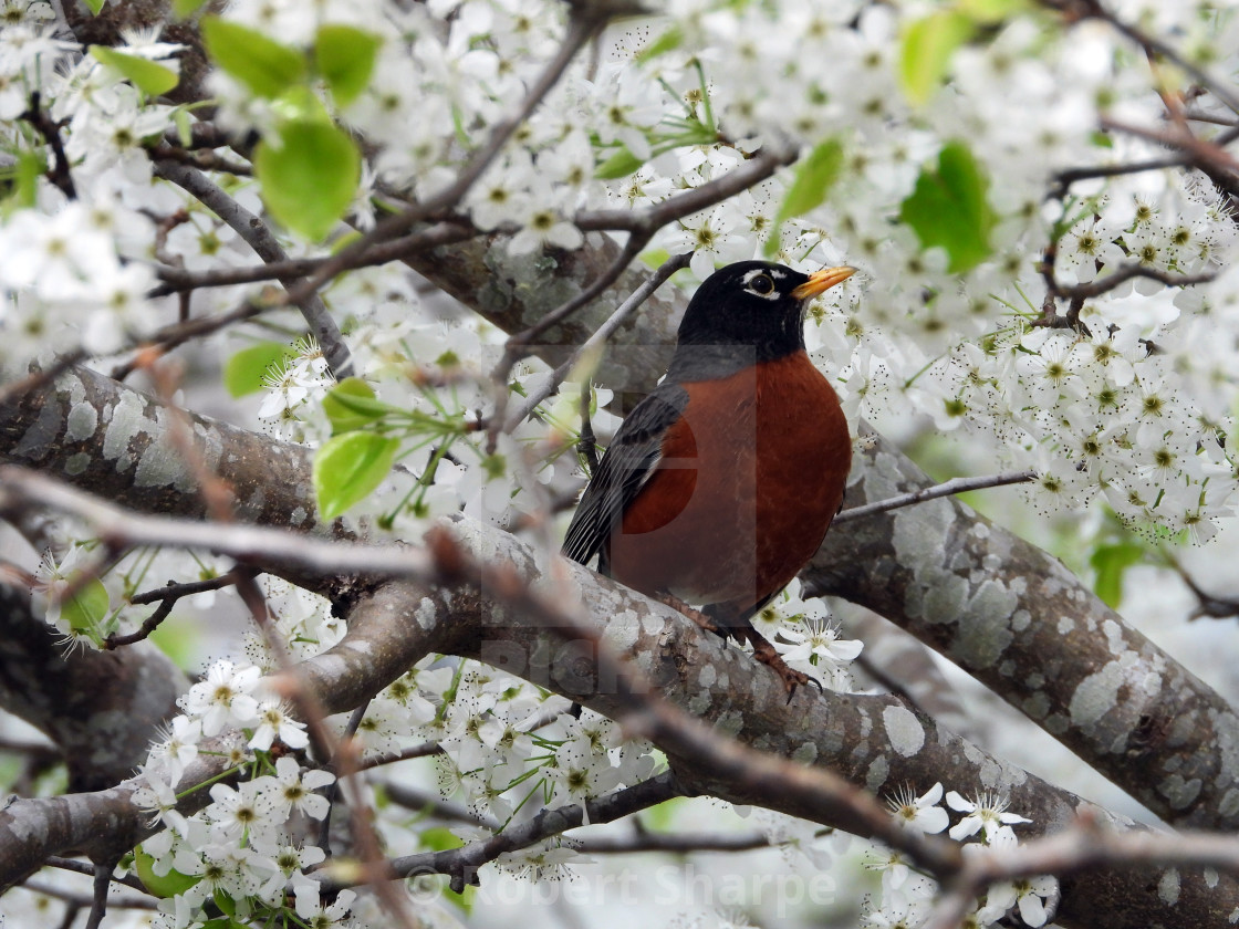 """""""Red-Breasted Robin among Spring Blossoms"""" stock image"""