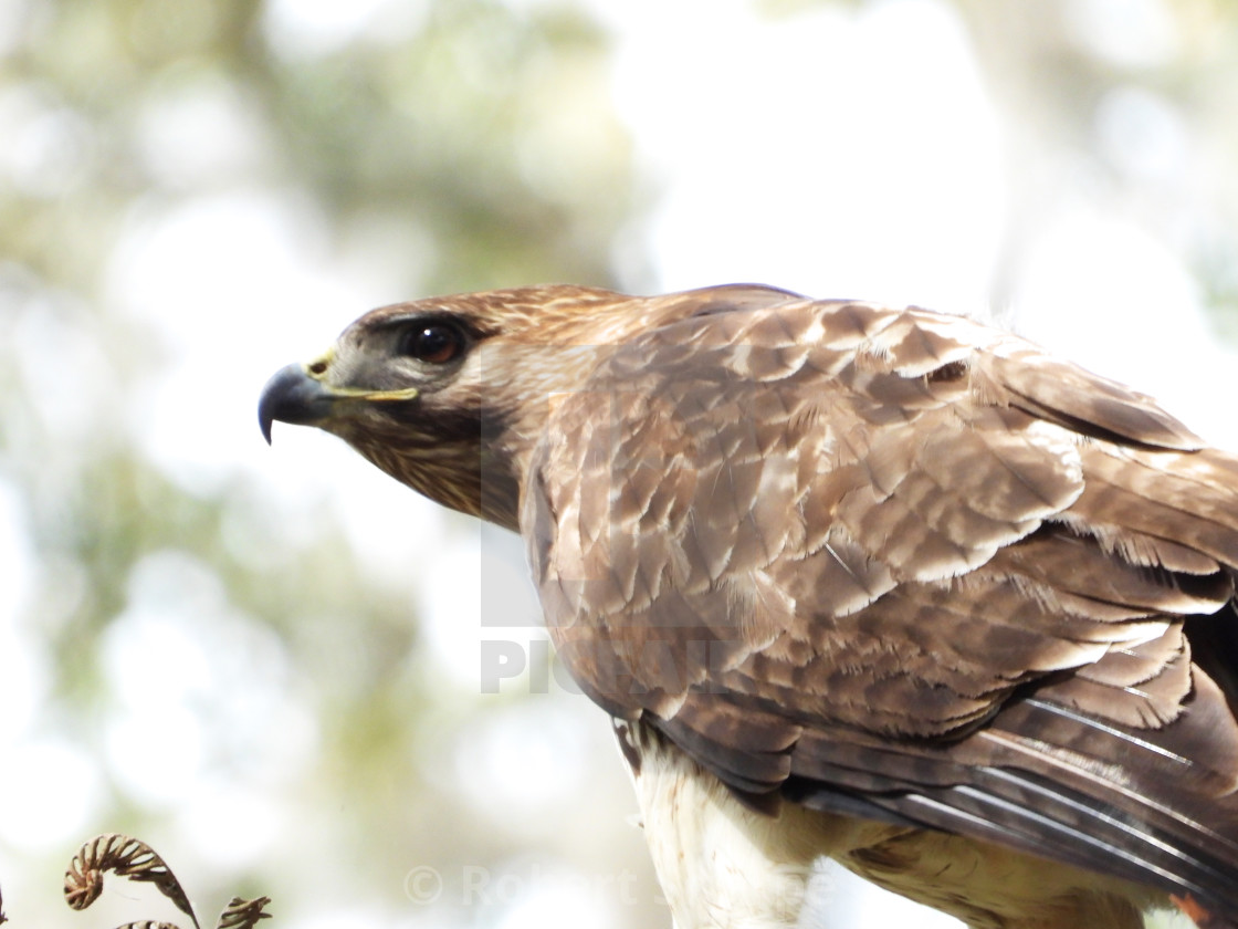 """""""Red-Tailed Hawk on the Lookout"""" stock image"""