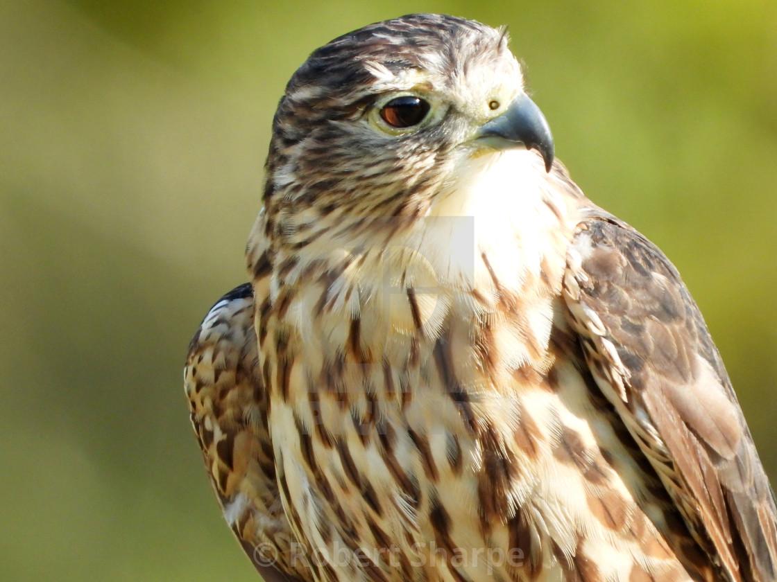 """""""Birds of Prey Series - Merlin II"""" stock image"""