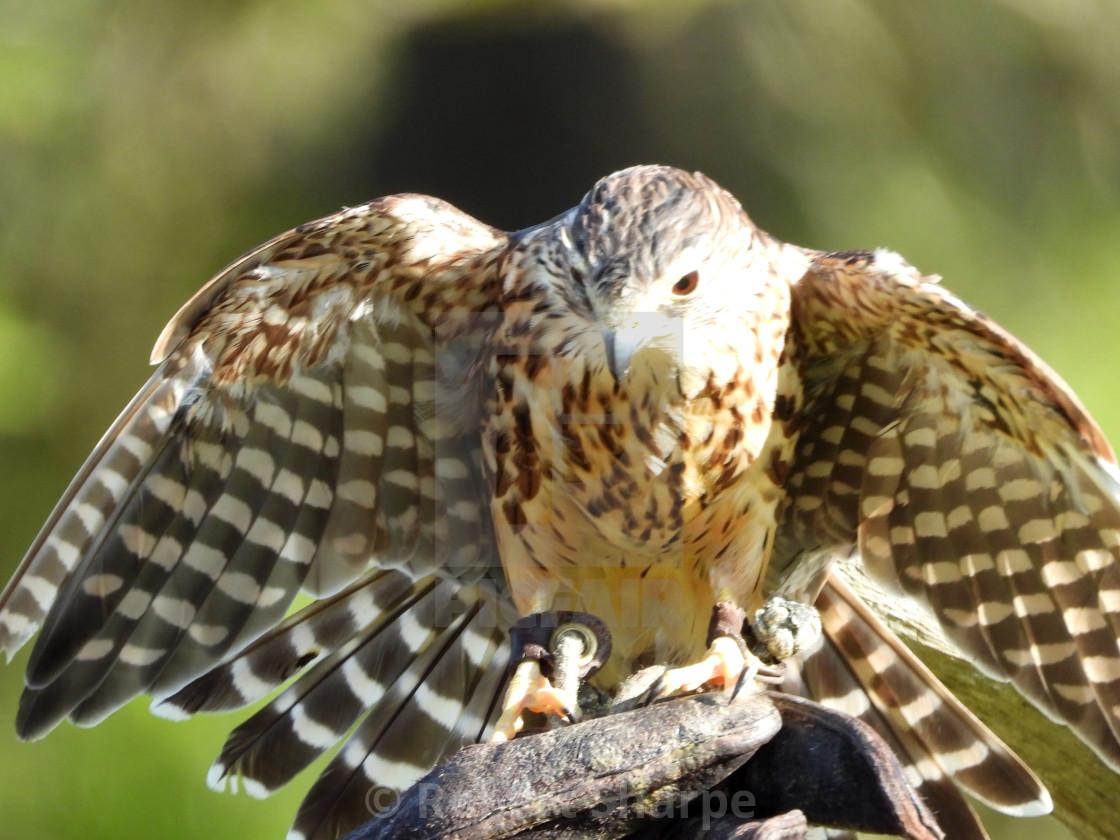 """Birds of Prey Series - Merlin IV"" stock image"