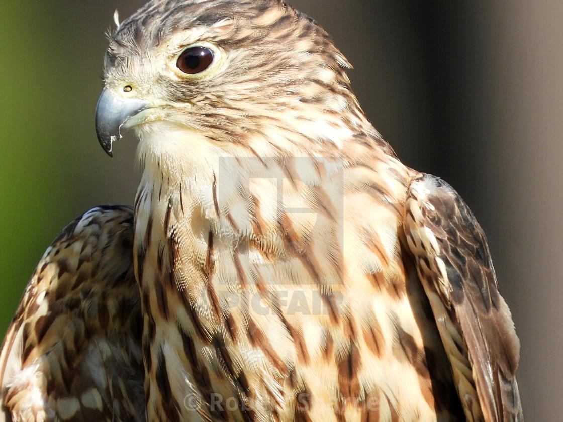 """""""Birds of Prey Series - Merlin V"""" stock image"""