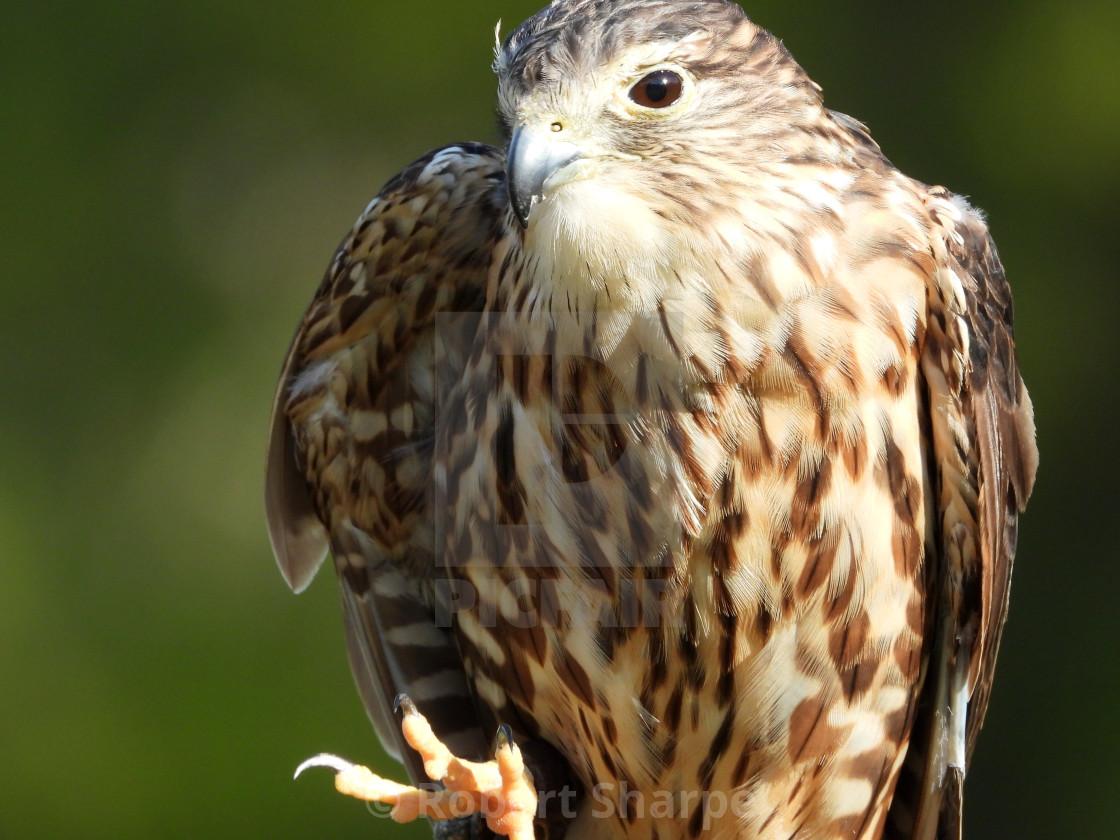 """""""Birds of Prey Series - Merlin VI"""" stock image"""