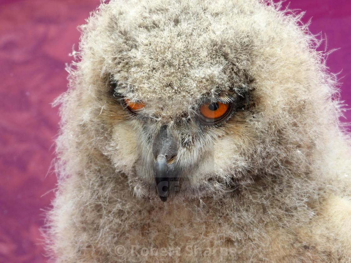 """Birds of Prey Series - Baby Eurasian Eagle Owl III"" stock image"