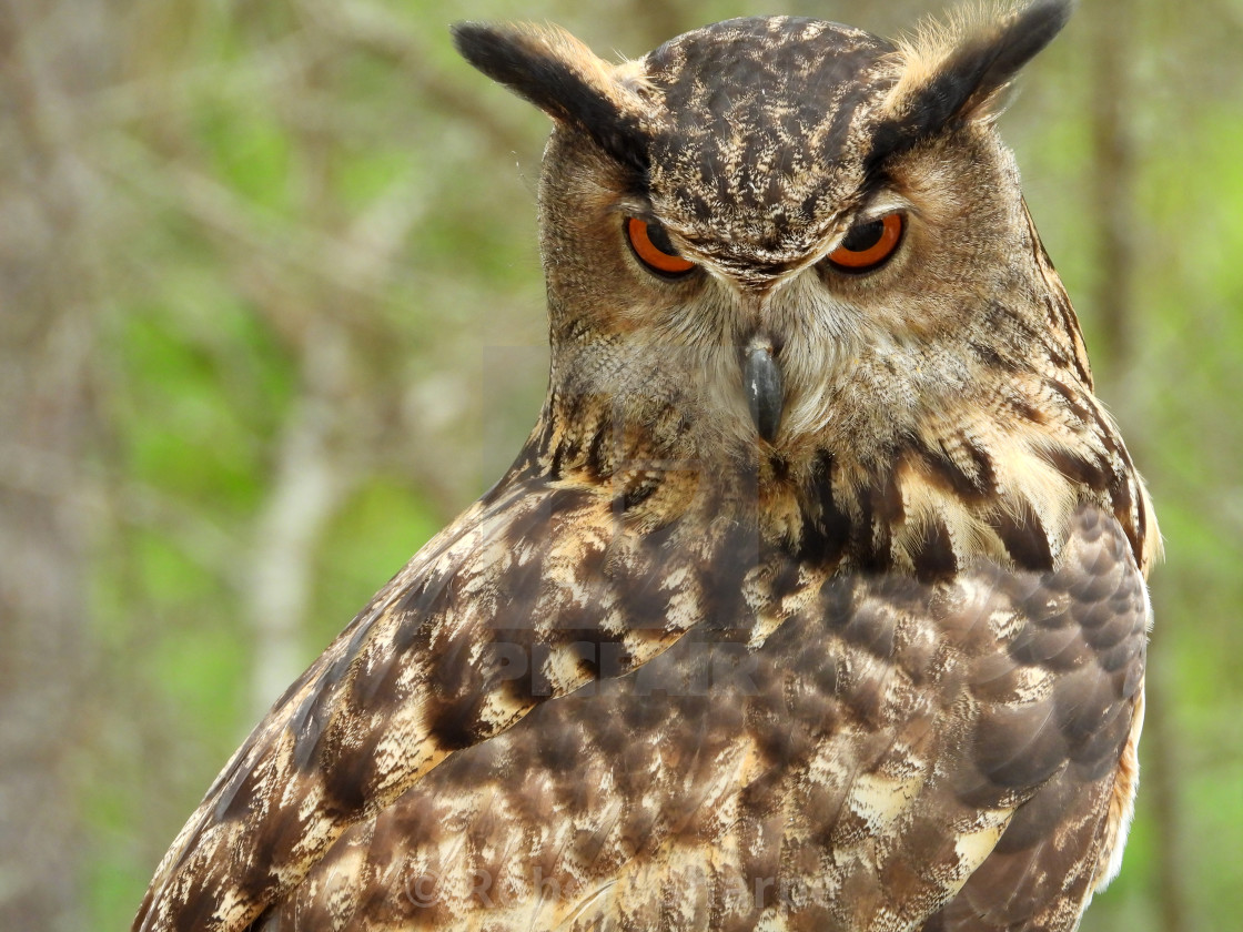 """Birds of Prey Series - Eurasian Eagle Owl III"" stock image"