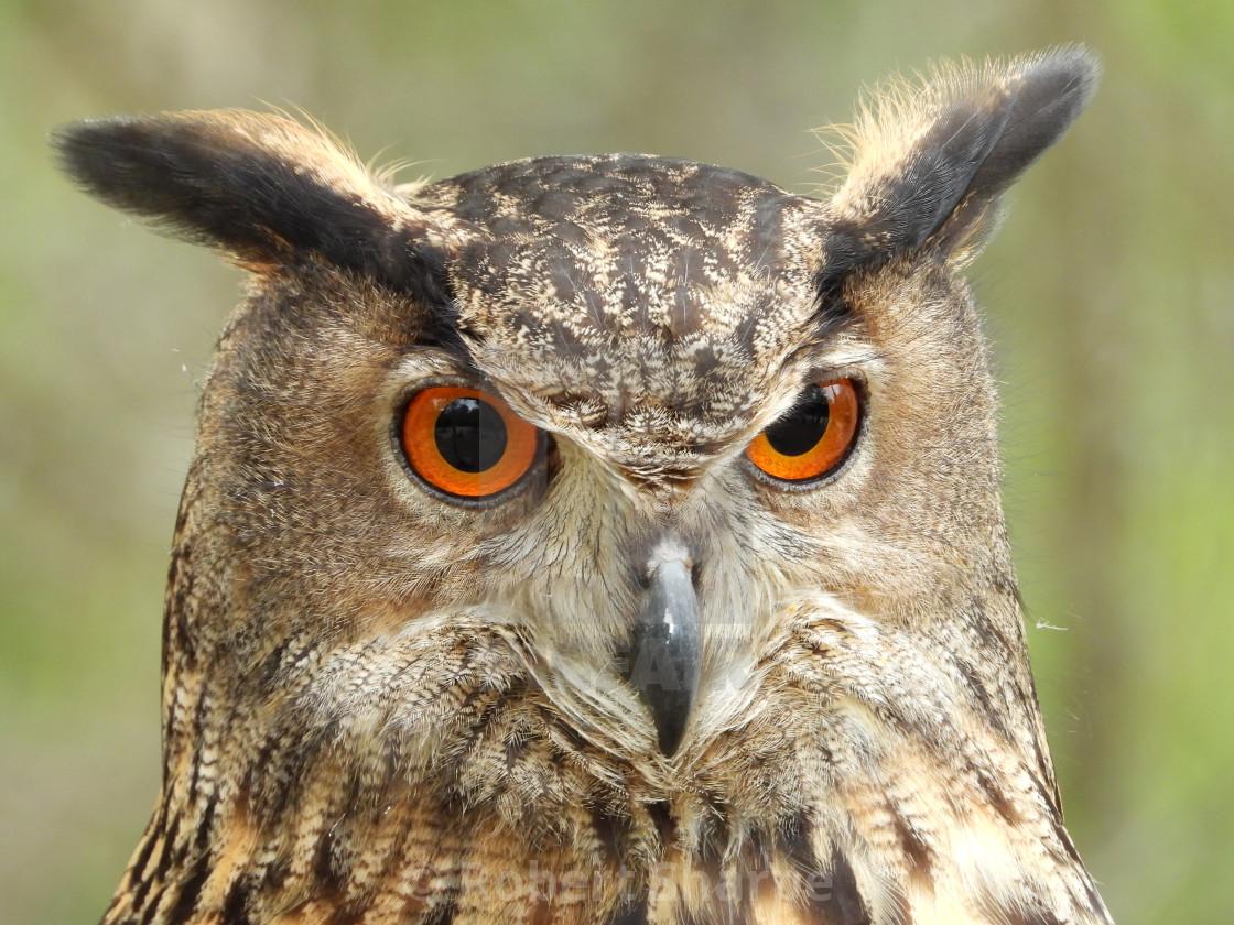 """Birds of Prey - Eurasian Eagle Owl IV"" stock image"