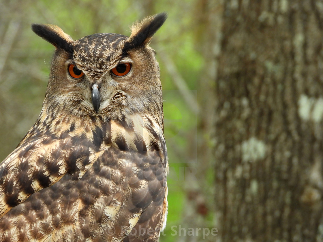 """Birds of Prey Series - Eurasian Eagle Owl V"" stock image"