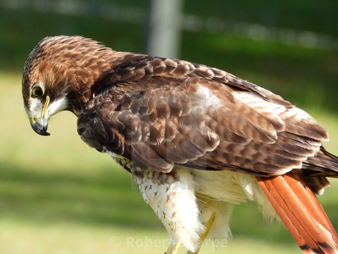 """""""Birds of Prey Series - Red-Tailed Hawk I"""" stock image"""