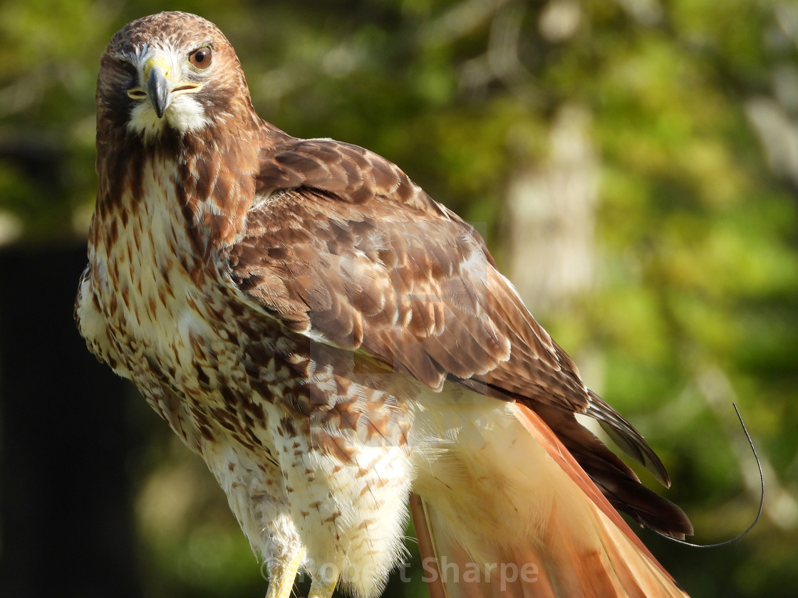 """""""Birds of Prey Series - Red-Tailed Hawk II"""" stock image"""
