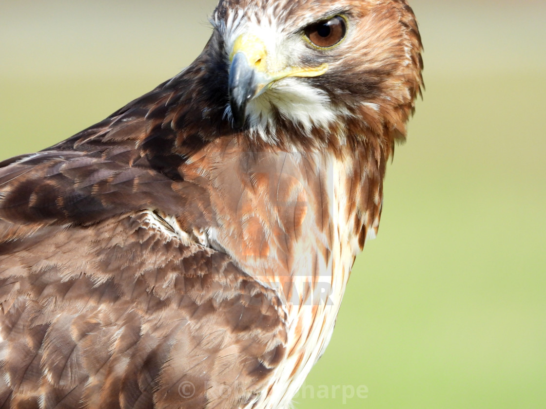 """""""Birds of Prey - Red-tailed Hawk IV"""" stock image"""