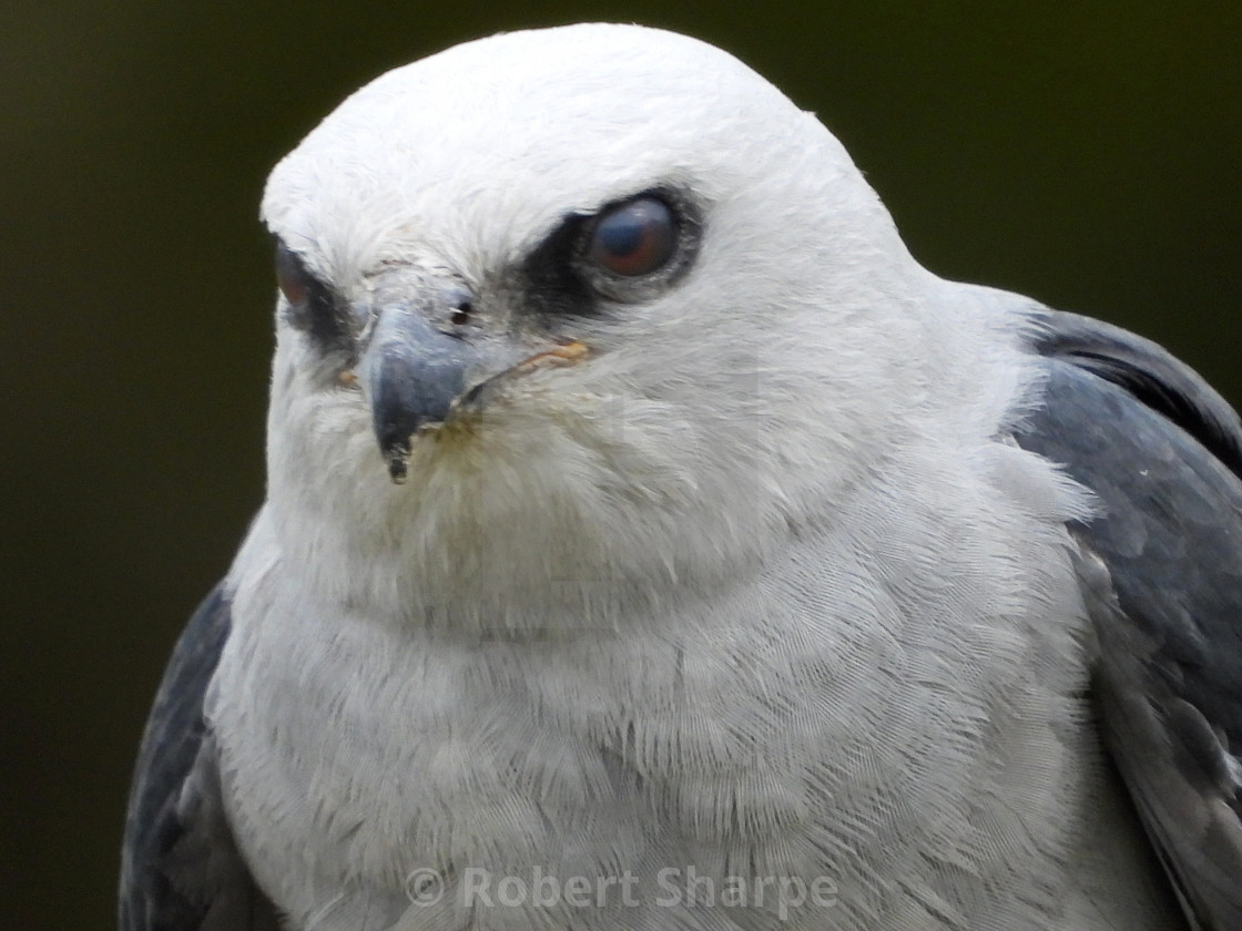 """Birds of Prey Series - Mississippi Kite III"" stock image"