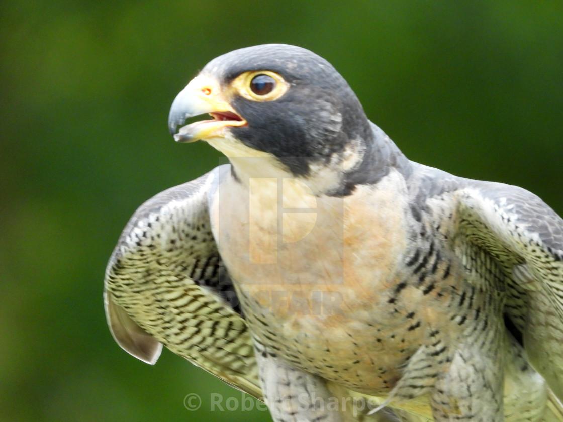 """Birds of Prey Series - Peregrine Falcon I"" stock image"