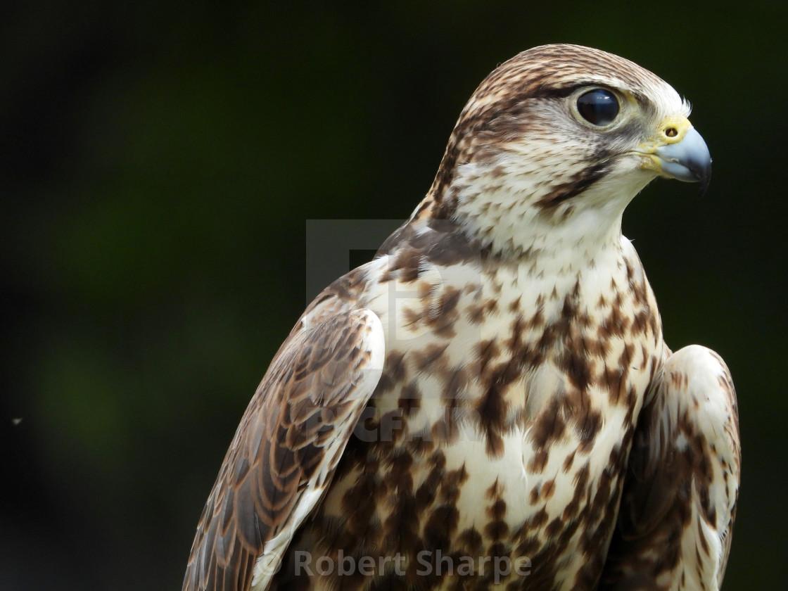 """""""Birds of Prey Series - Saker Falcon I"""" stock image"""