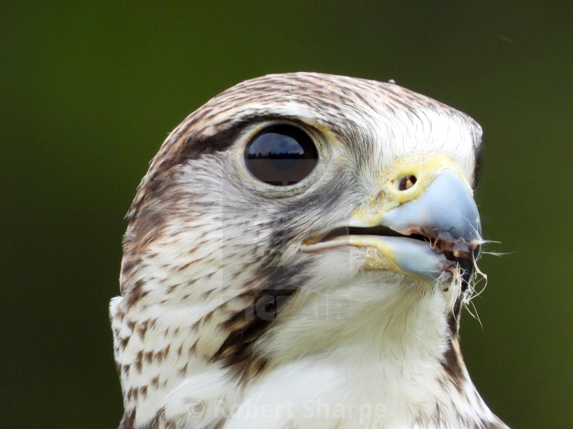 """""""Birds of Prey Series - Saker Falcon V"""" stock image"""